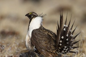 Sage-Grouse Wyoming
